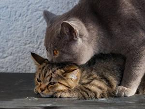 Hintergrundbilder Katzen Britisch Kurzhaar Kätzchen 2 ein Tier
