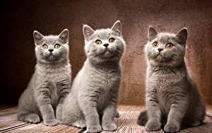 Hintergrundbilder Hauskatze Britisch Kurzhaar Graue Drei 3 Natalya Leis ein Tier