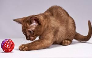 Bilder Katze Pfote Spielen Kugeln Braun Burmese cat ein Tier