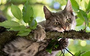 Bilder Katze Eckzahn Ast Pfote Blick Tiere