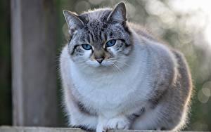 Tapety na pulpit Kot domowy Z bliska Bokeh Wzrok Burmilla Zwierzęta