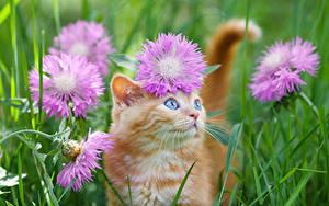 Fotos Hauskatze Flockenblumen Kätzchen Blick Fuchsrot Gras Tiere