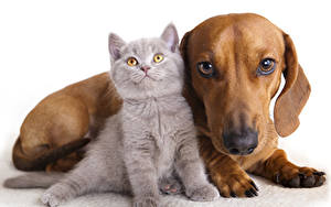 Pictures Cats Dogs Kittens Dachshund 2 White background Animals