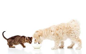 Wallpaper Cat Dogs Milk Bolognese Two Kittens White background animal