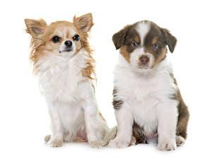 Hintergrundbilder Katze Hunde Weißer hintergrund Zwei Shepherd Chihuahua Welpe Tiere
