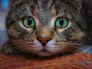 Fotos Hauskatze Augen Schnauze Blick Schnurrhaare Vibrisse Tiere