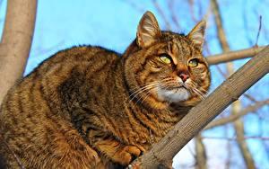 Fotos Katze Dick Ast Starren Tiere