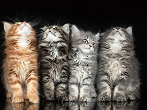 Hintergrundbilder Katze Vier 4 Schwarzer Hintergrund Flauschige Tiere