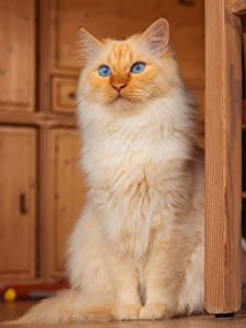 Hintergrundbilder Katzen Fuchsrot Starren Tiere