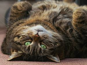 Hintergrundbilder Katze Starren Dick Schnauze ein Tier