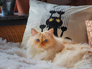 Bilder Hauskatze Starren Flauschige ein Tier