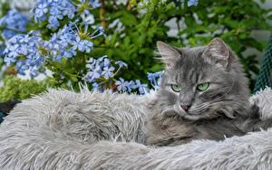 Bilder Katze Starren Graue Tiere