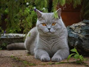 Fotos Katzen Blick Grau Pfote ein Tier