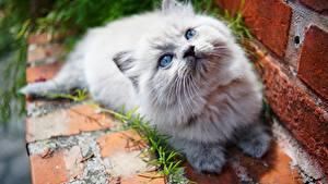 Bilder Katze Starren Katzenjunges ein Tier