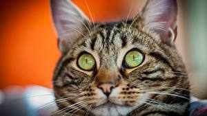 Wallpapers Cat Glance Snout Surprise emotion animal