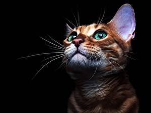 Fotos Katze Blick Schnurrhaare Vibrisse Schwarzer Hintergrund Schnauze Tiere