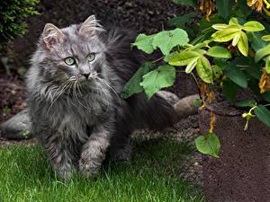 Desktop hintergrundbilder Hauskatze Gras Starren Graue ein Tier