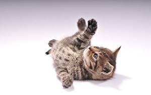 Fotos Hauskatze Grauer Hintergrund Kätzchen Liegen ein Tier