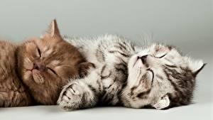 Bilder Katze Grauer Hintergrund 2 Hinlegen Schlafende Katzenjunges Pfote ein Tier