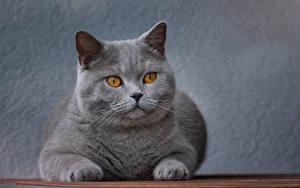 桌面壁纸,,家貓,灰色,凝视,吻部,動物