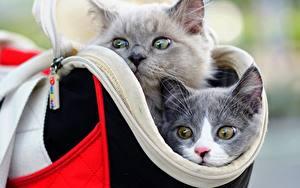 Tapety na pulpit Koty Torba Dwie Głowa Kufa Szary Wzrok Zwierzęta