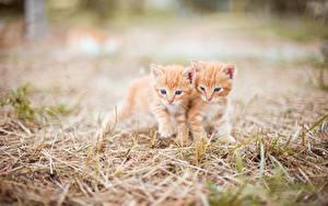 Desktop wallpapers Cat Kitty cat Blurred background Grass 2 Red orange Cute animal