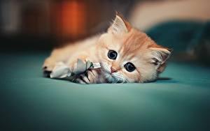 Bilder Katze Katzenjunges Süße Hinlegen Blick