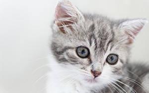 Hintergrundbilder Katzen Katzenjunges Starren Grauer Hintergrund Schnauze Kopf