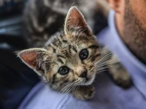 Fotos Hauskatze Katzenjunges Starren Schnurrhaare Vibrisse Niedlich ein Tier