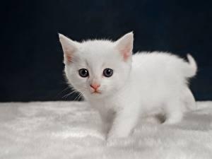 Fotos Hauskatze Katzenjunges Starren Weiß ein Tier