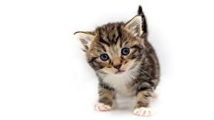 Bilder Hauskatze Kätzchen Blick Weißer hintergrund Tiere