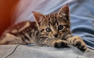 Bilder Hauskatze Katzenjunges Liegen Starren Pfote Niedlich
