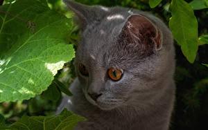 Hintergrundbilder Hauskatze Katzenjunges Schnauze Graue Starren ein Tier