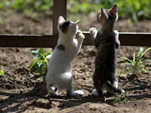 Hintergrundbilder Katzen Katzenjunges Zwei Hinten Zaun ein Tier