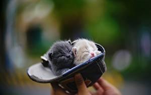 Fotos Hauskatze Katzenjunges 2 Baseballmütze Unscharfer Hintergrund ein Tier