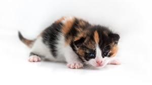 Bilder Hauskatze Katzenjunges Weißer hintergrund Tiere