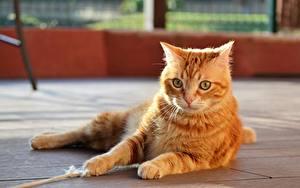 Hintergrundbilder Katze Liegt Fuchsrot Pfote Starren ein Tier