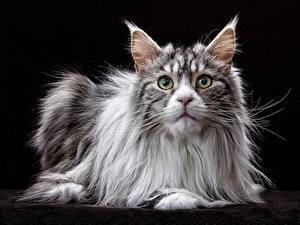 Hintergrundbilder Hauskatze Mancoon Starren Schwarzer Hintergrund ein Tier