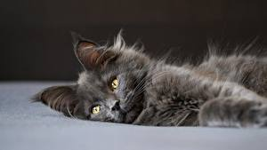 Hintergrundbilder Hauskatze Maine Coon Graues Liegen Flauschige Starren Tiere