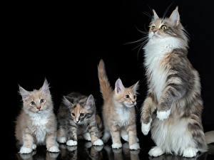 Hintergrundbilder Hauskatze Mancoon Kätzchen Schwarzer Hintergrund Vier 4