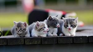 Hintergrundbilder Katze Katzenjunges Süß Vier 4 Munchkin