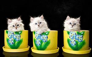 Fotos Katzen Katzenjunges Drei 3 Neva Masquerade Cat