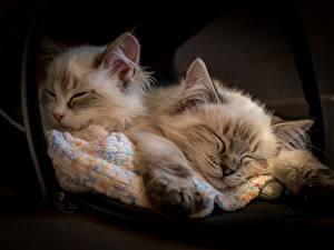 Fotos Hauskatze Ragdoll-Katze Katzenjunges Schlaf Zwei ein Tier