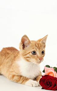 Fotos Katze Rosen Weißer hintergrund Kätzchen Fuchsrot Tiere