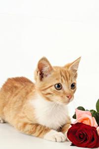 Fotos Katze Rosen Weißer hintergrund Katzenjunges Fuchsrot Tiere