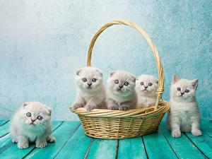 Fotos Hauskatze Schottische Faltohrkatze Katzenjunges Weidenkorb Natalya Leis