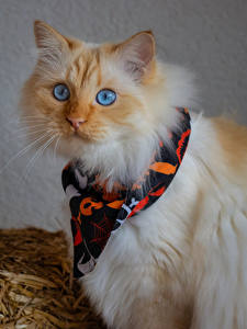 Fotos Katze Schnauze Blick ein Tier