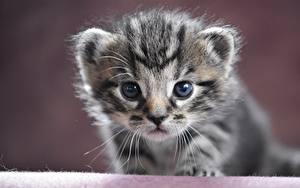Bilder Katze Schnauze Katzenjunges Starren