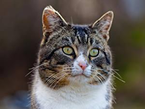 Hintergrundbilder Katze Schnauze Schnurrhaare Vibrisse Starren Unscharfer Hintergrund Tiere
