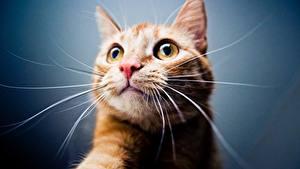 Fotos Katzen Schnauze Schnurrhaare Vibrisse Blick Kopf Tiere